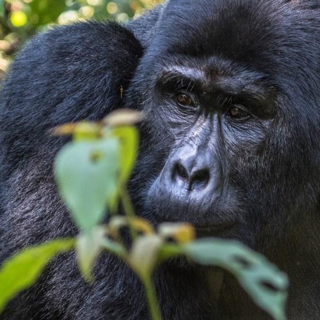 How to get your gorilla trekking permits | Roadtrip Uganda